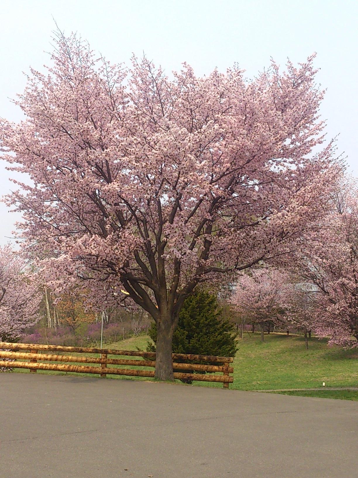 2015年桜3