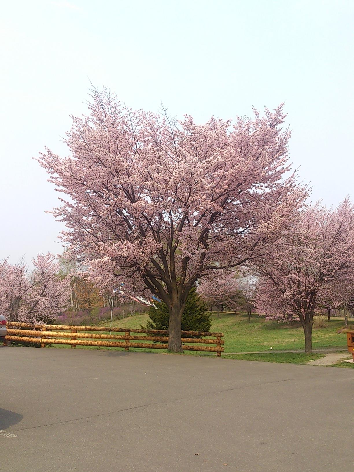 2015年桜1