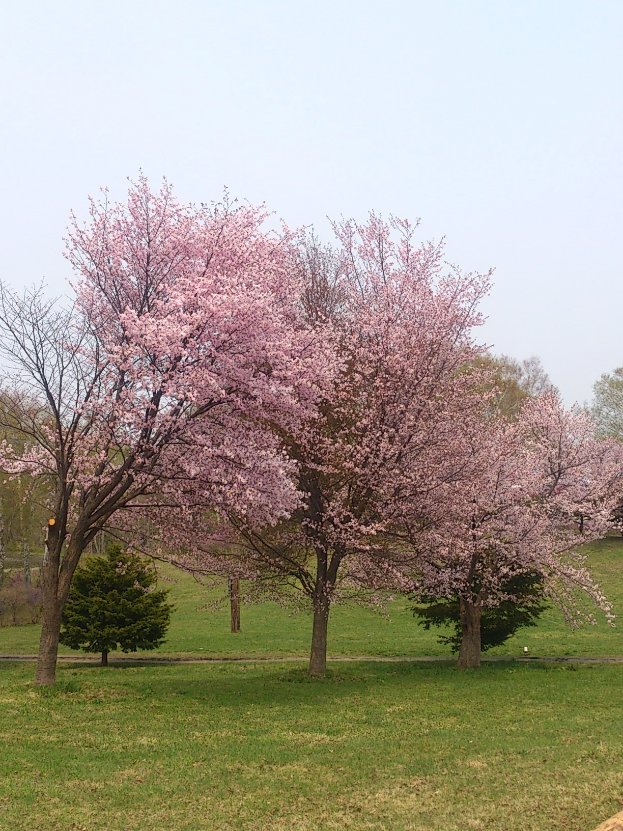 2015年桜2