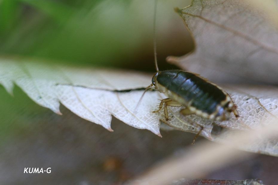 Blattella nipponica