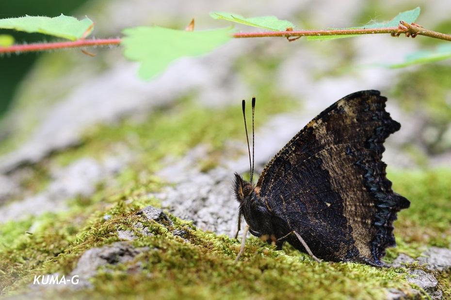 ヒオドシチョウ Nymphalis xanthomelas