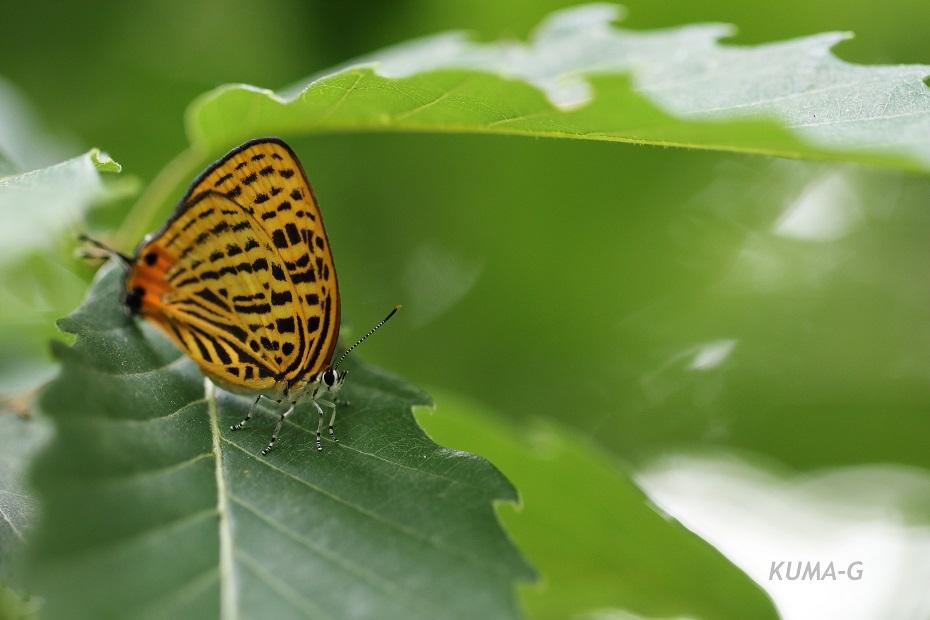 ウラナミアカシジミ Japonica saepestriata