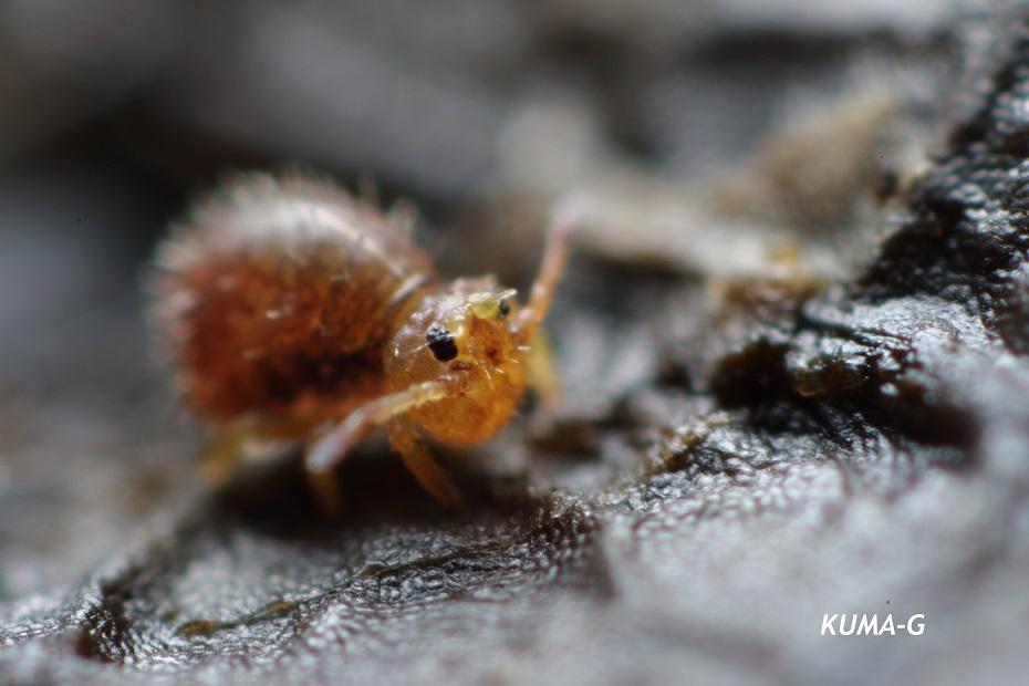 Lipothrix japonica