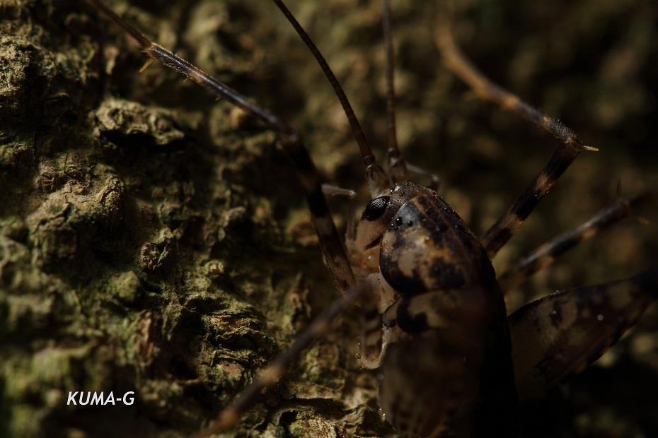 Diestrammena japonica