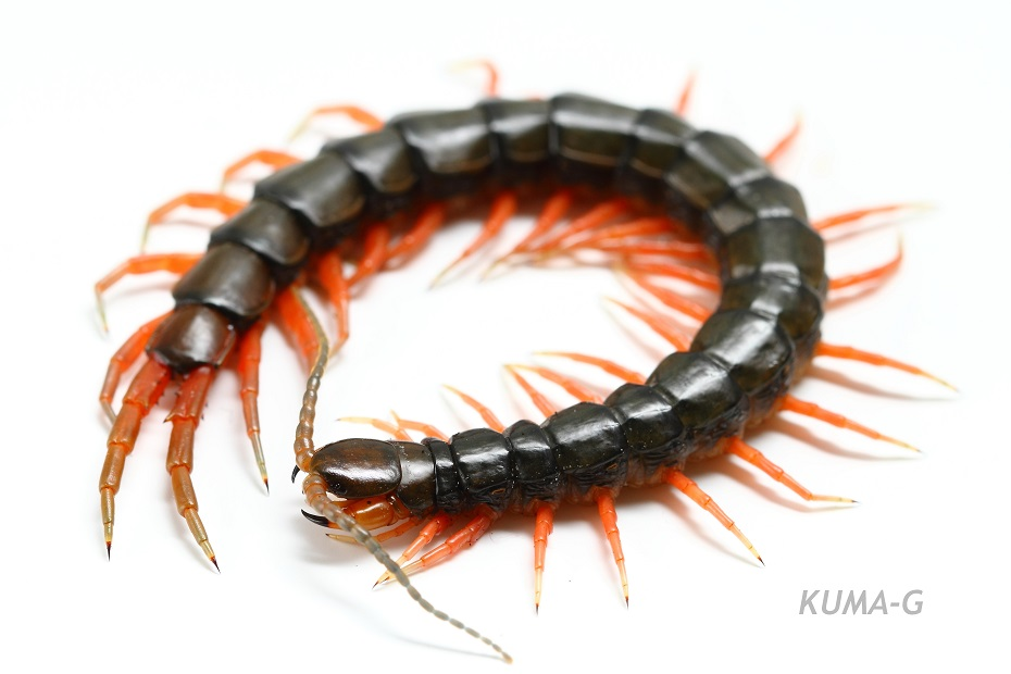 Scolopendra subspinipes japonica
