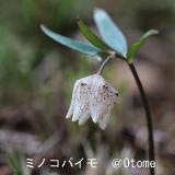 乙女 ( Otome )