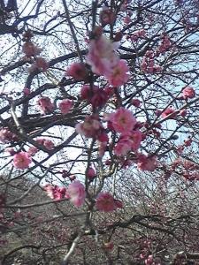 150215_梅の花