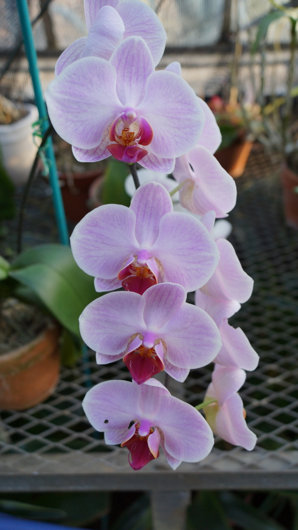 温室 蘭の花AAA-13-20150221