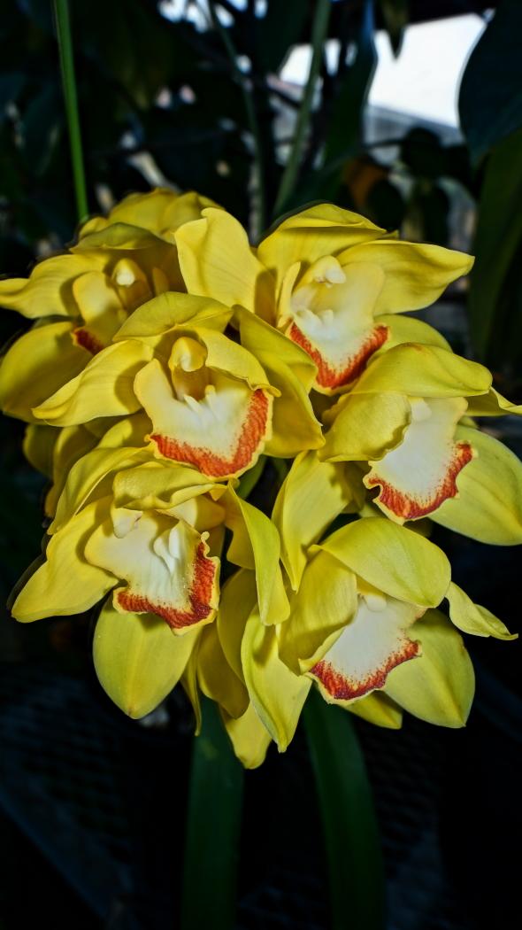 温室 蘭の花AAA-5-20150221