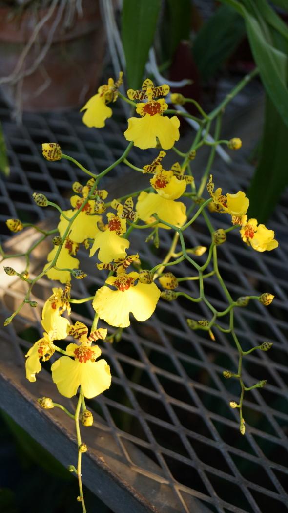 温室 蘭の花AAA-7-20150221
