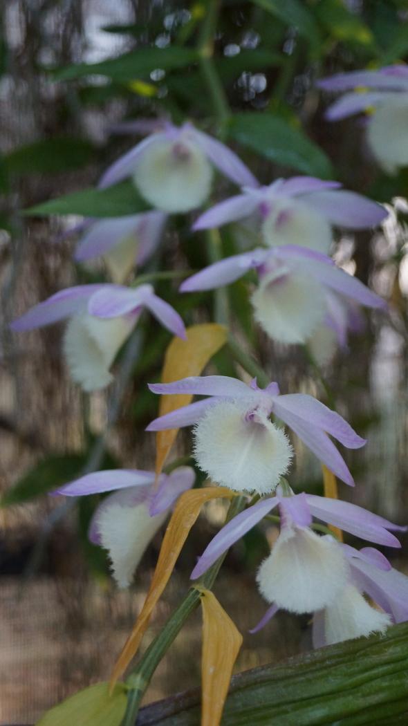 温室 蘭の花AAA-8-20150221