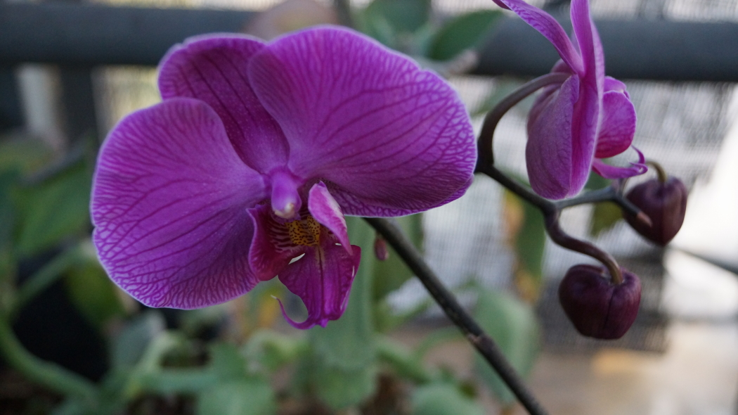 温室 蘭の花AAA-11-20150221