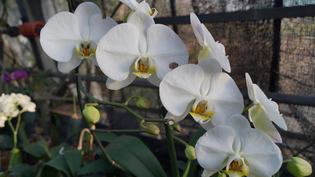温室 蘭の花AAA-12-20150221