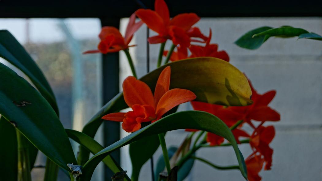 温室 蘭の花AAA-6-20150221