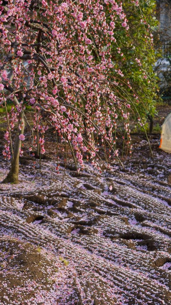 枝垂れ紅梅 造園ー21-AAA20150322.