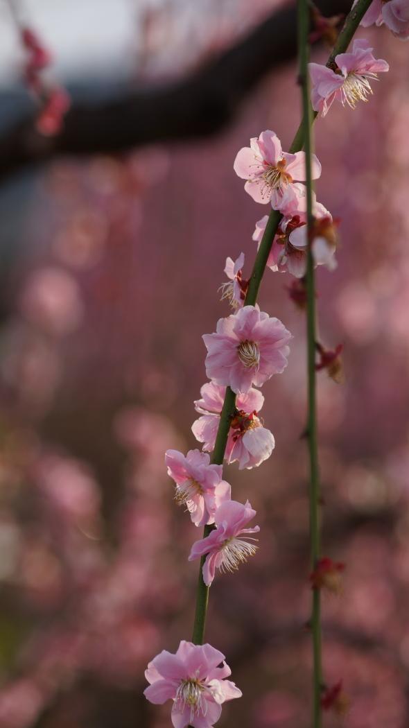 枝垂れ紅梅 造園ー5-AAA20150322.