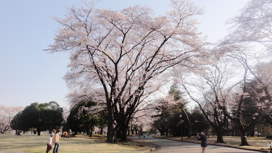 AAA-4-稲荷山公園桜20150330