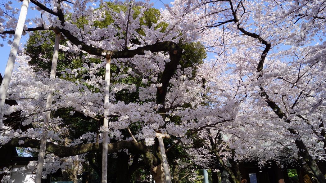 靖国神社標準木桜AAA2015-1-3
