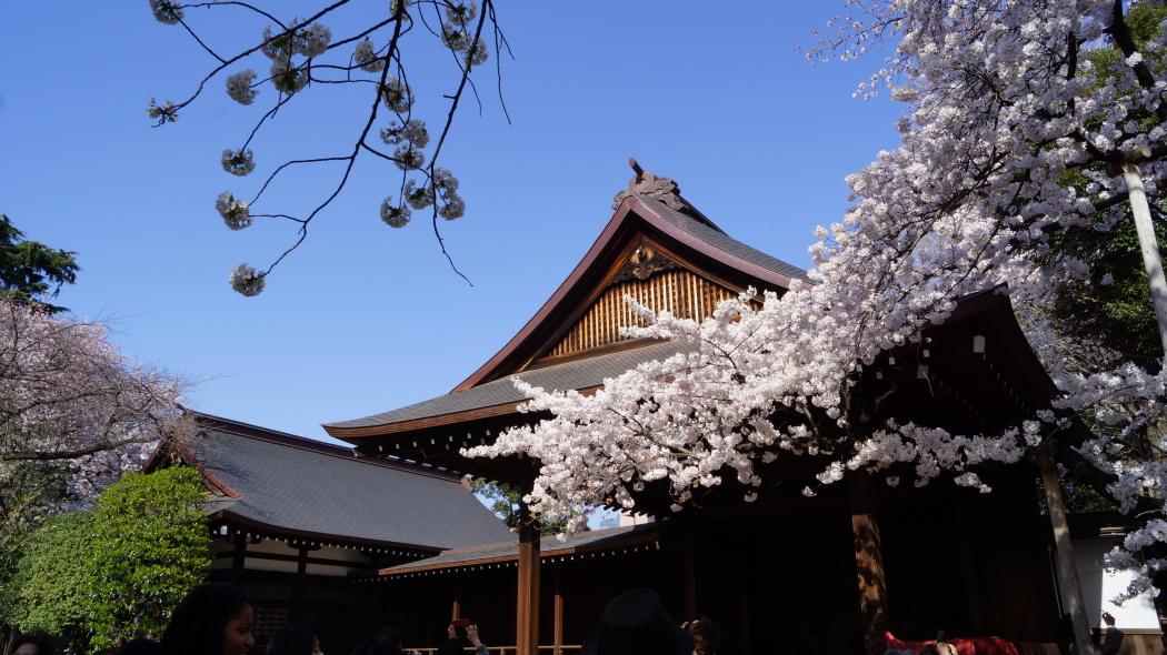靖国神社標準木桜AAA2015-1-.