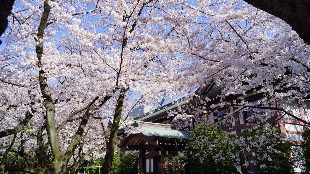 靖国神社桜AAA2015-4-