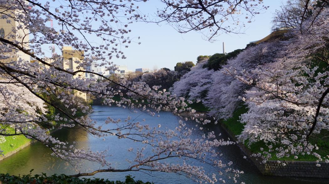 北の丸公園桜AAA2015-71-
