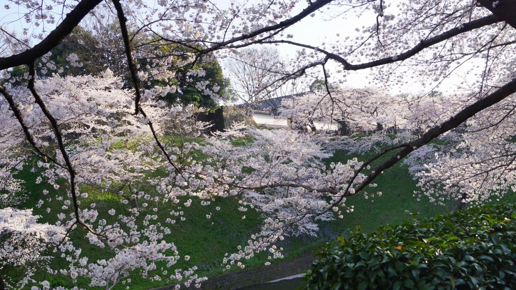 北の丸公園桜AAA2015-72-