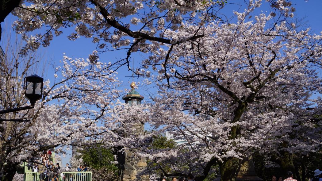 北の丸公園桜AAA2015-5-