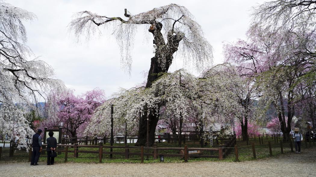 AAAーエゾヒガンザクラ記念木ー10-清雲寺20150406