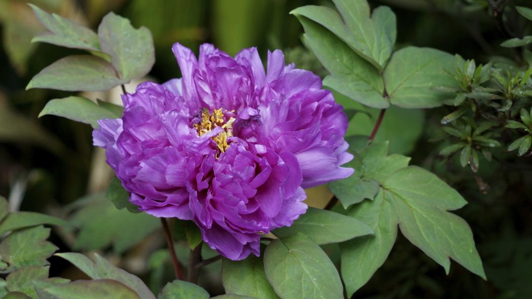 AAA牡丹紫ー17-多門院20150429.