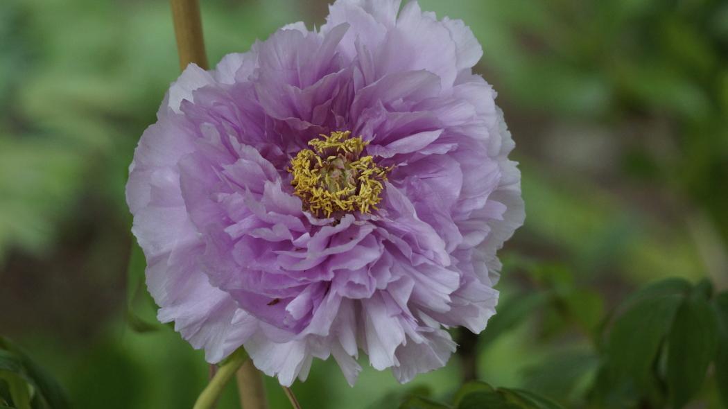 AAA牡丹紫ー15-多門院20150429