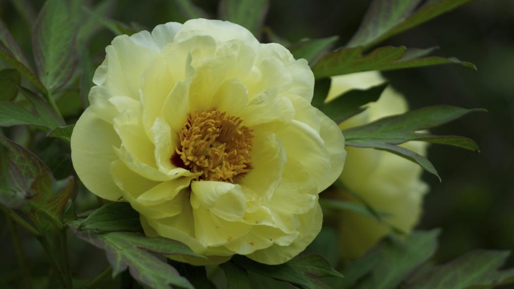 AAA牡丹黄色ー2-多門院20150429