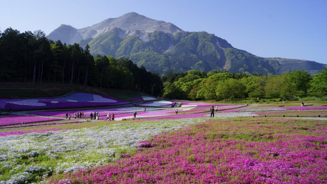 AAAA武甲山&芝桜-2-羊山公園201505010707