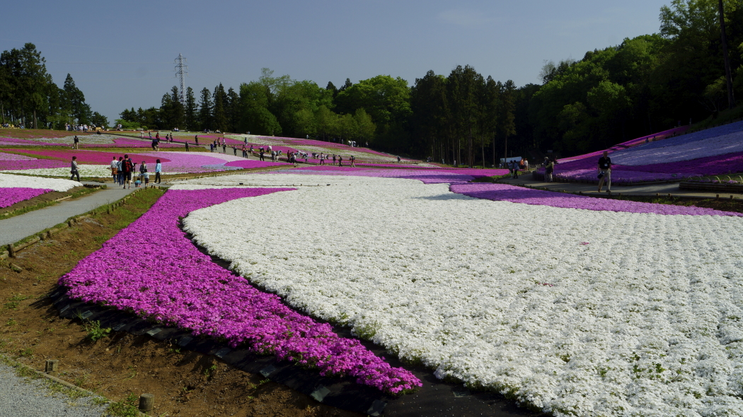 AAA芝桜-26-羊山公園20150501808