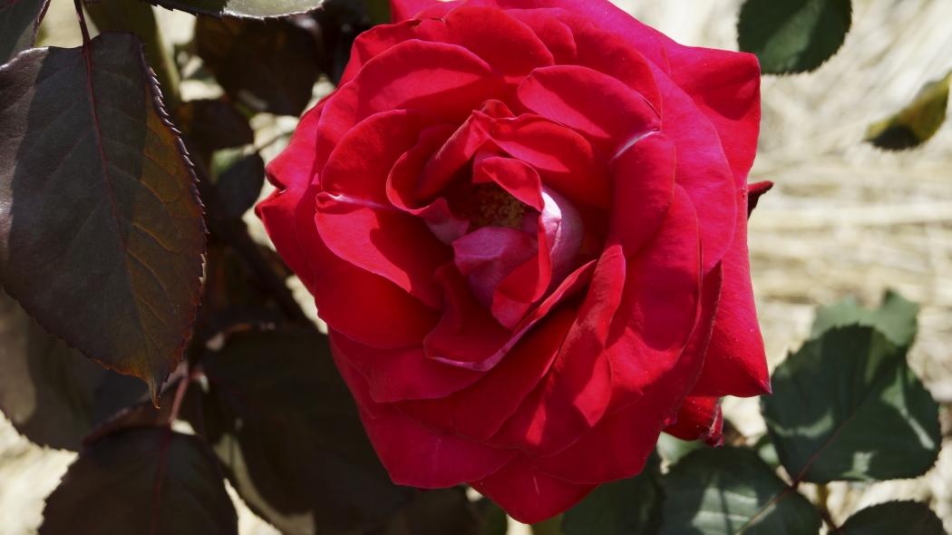 AAAロナルド・レーガン・ローズー2- 2015-0514 知光公園