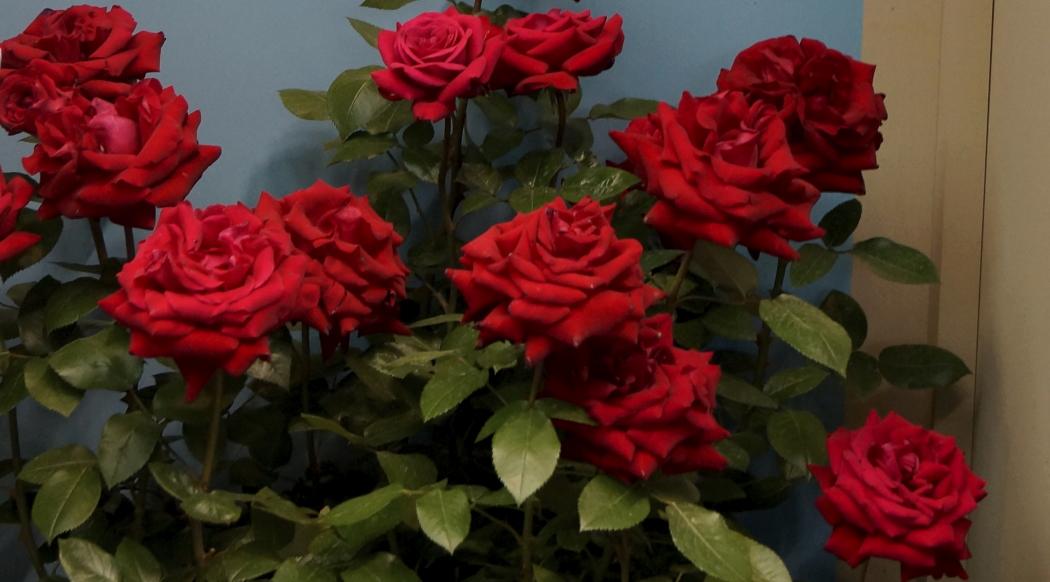 AAA薔薇20150515_イングリット・バーグマン