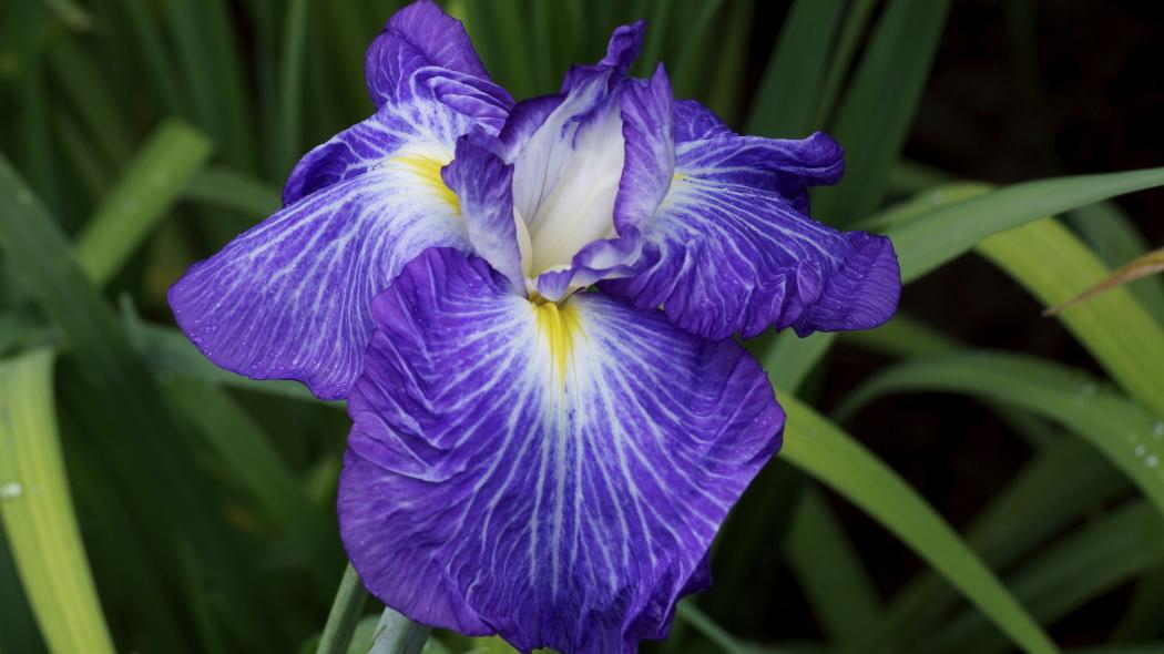 AAA紫ー3ー菖蒲智光山公園