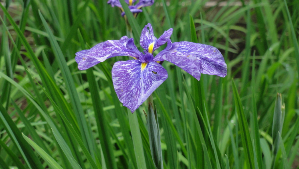 AAA紫ー1ー菖蒲智光山公園