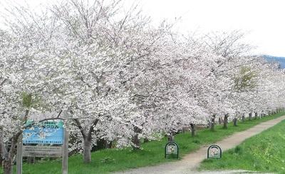 余市川沿い桜 5-20-13 023