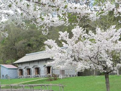 旧福原漁場の桜 5-21-13 003