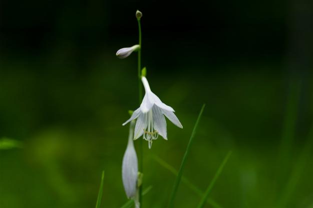 白いギボウシ