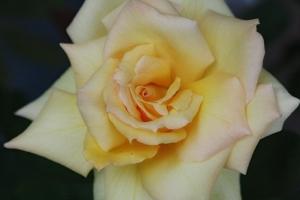 薔薇「北斗」