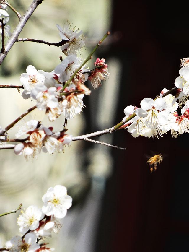 梅の花と蜂4