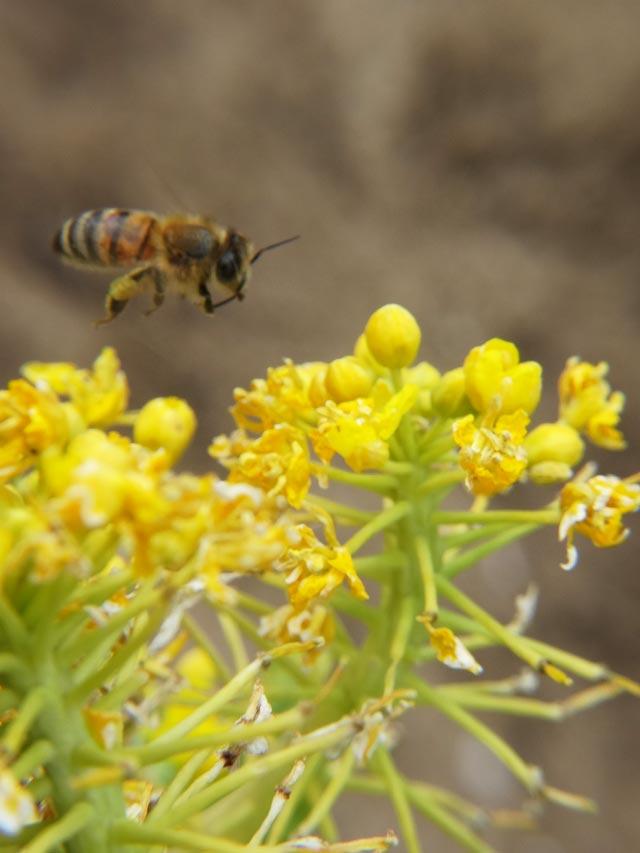 ピンボケ菜の花と蜜蜂1