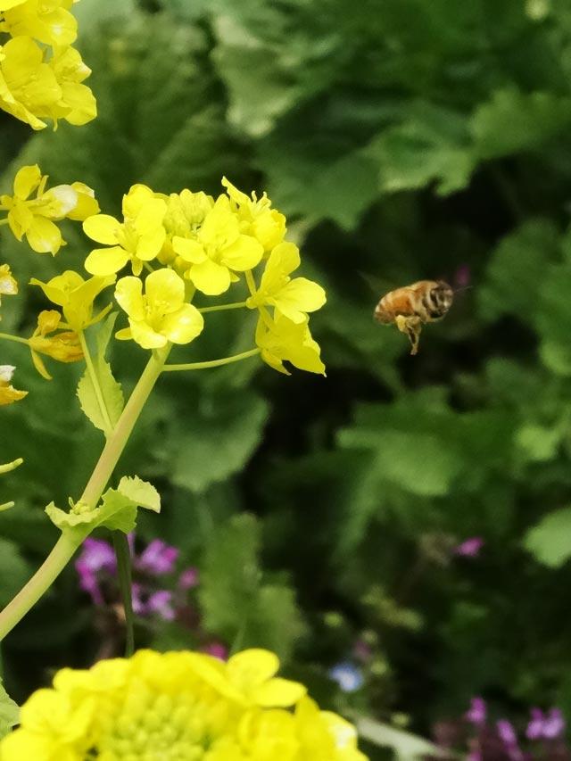 ピンボケ菜の花と蜜蜂2