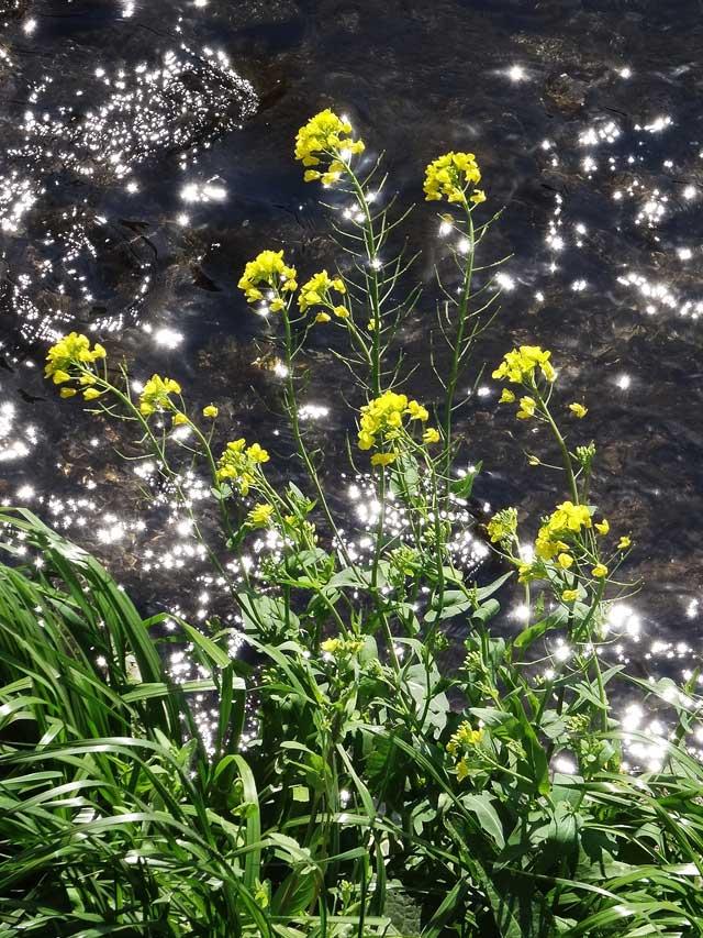 橋の上から見た菜の花
