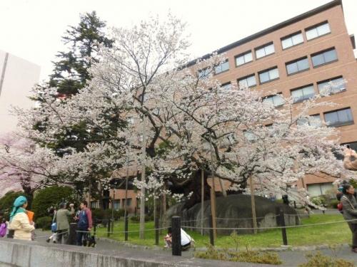 石割桜 (3)