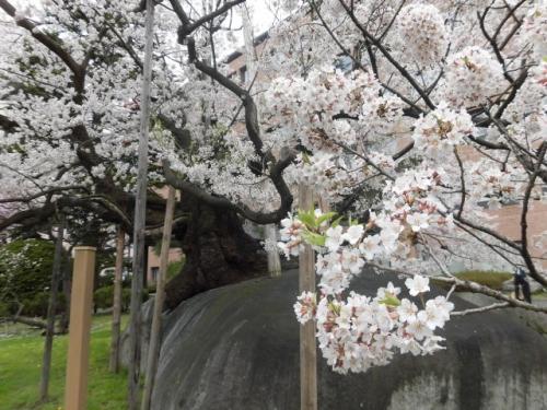 石割桜 (12)