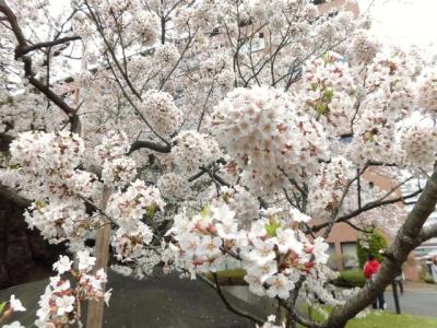 石割桜 (11)