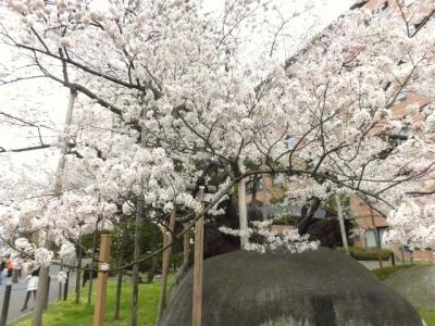 石割桜 (13)
