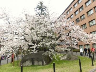 石割桜 (14)
